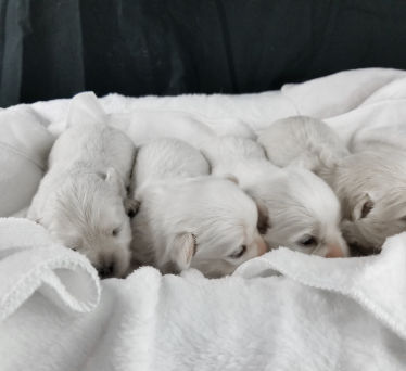 Frisky Dream Puppies